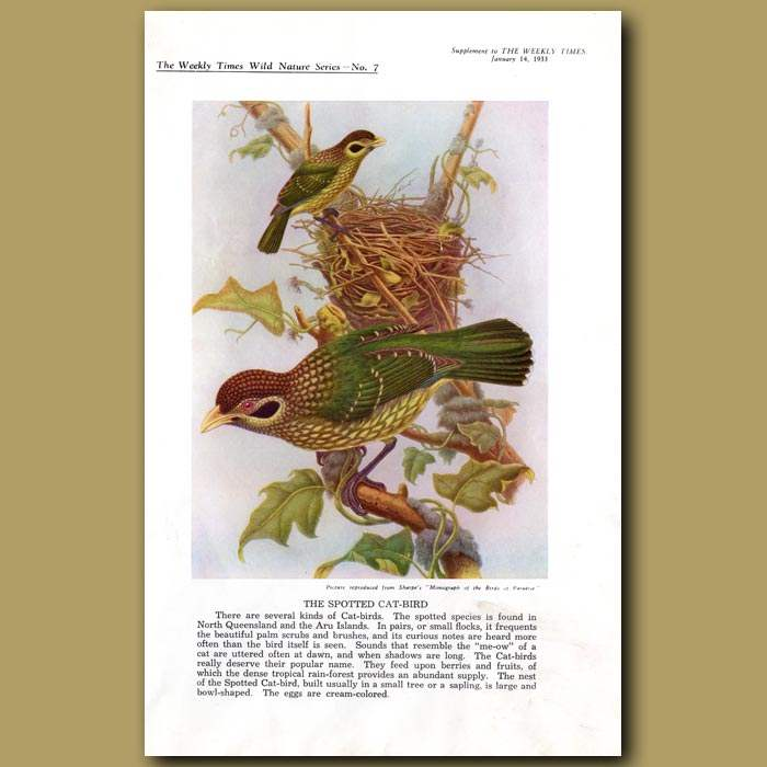 Antique print. The Spotted Cat-bird