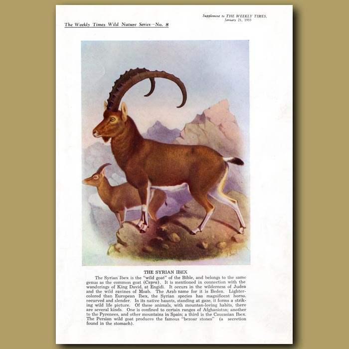 Antique print. The Syrian Ibex