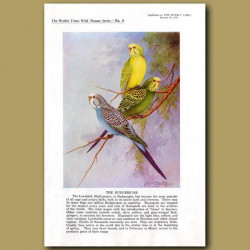The Budgerigar Or Love Bird