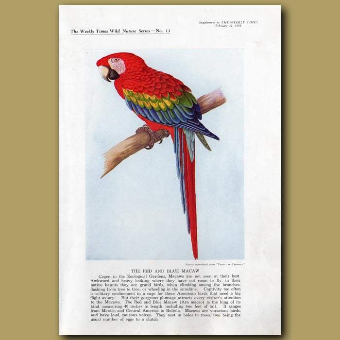 Antique print. The Red and Blue Macaw