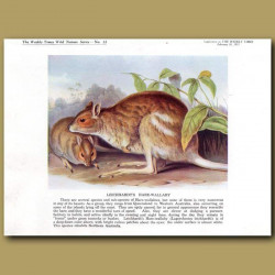 Leichhardt's Hare-wallaby