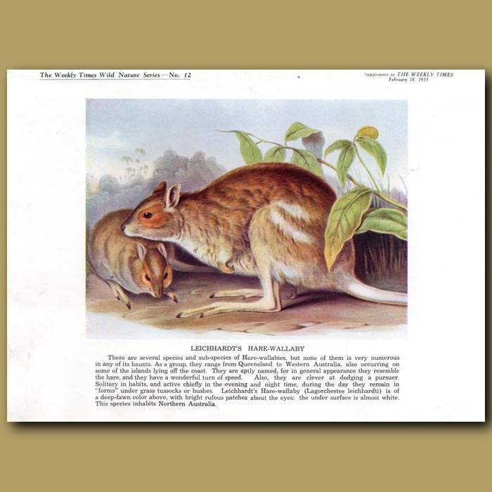 Antique print. Leichhardt's Hare-wallaby