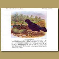 The Satin Bower-Bird