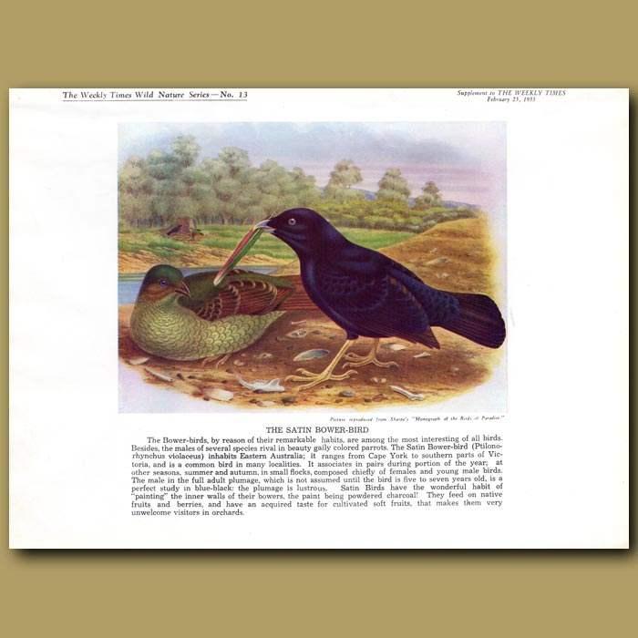Antique print. The Satin Bower-bird