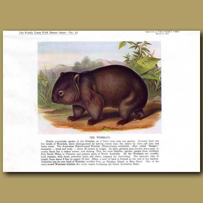 Antique print. The Wombat