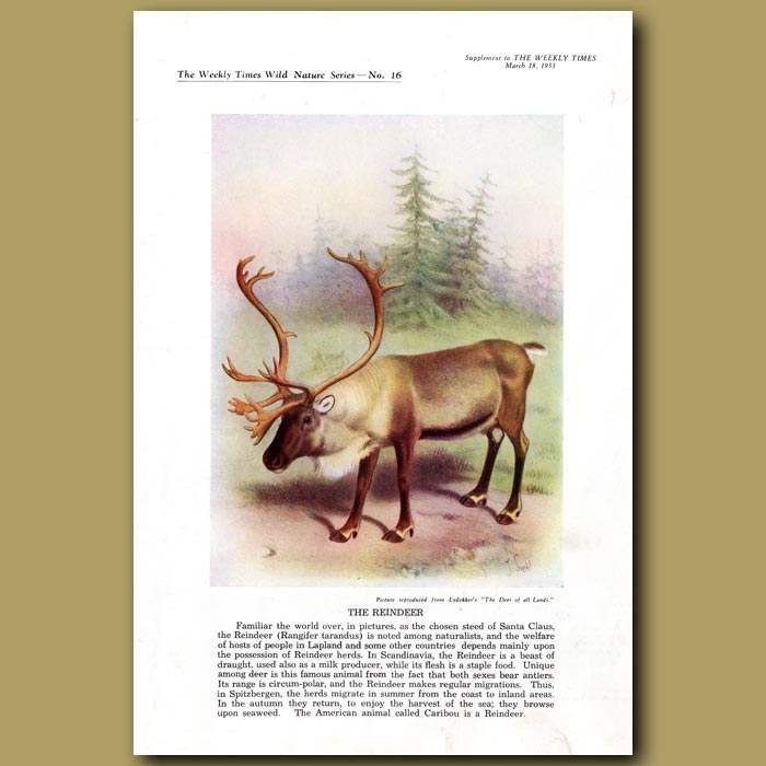 Antique print. The Reindeer