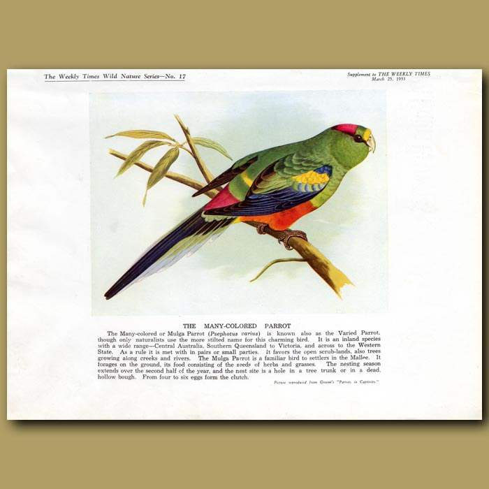 Antique print. The Many-coloured Parrot