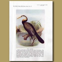 The Darter Or Snake Bird