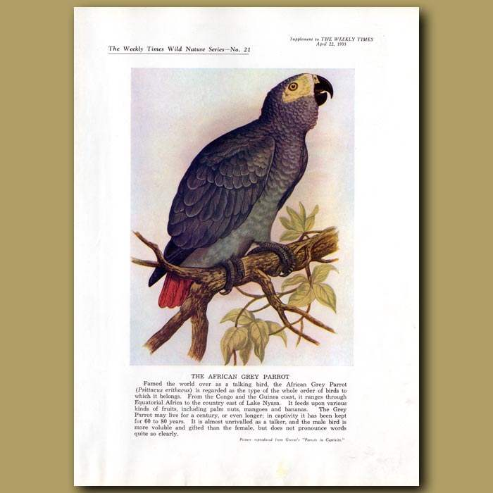 Antique print. The African Grey Parrot