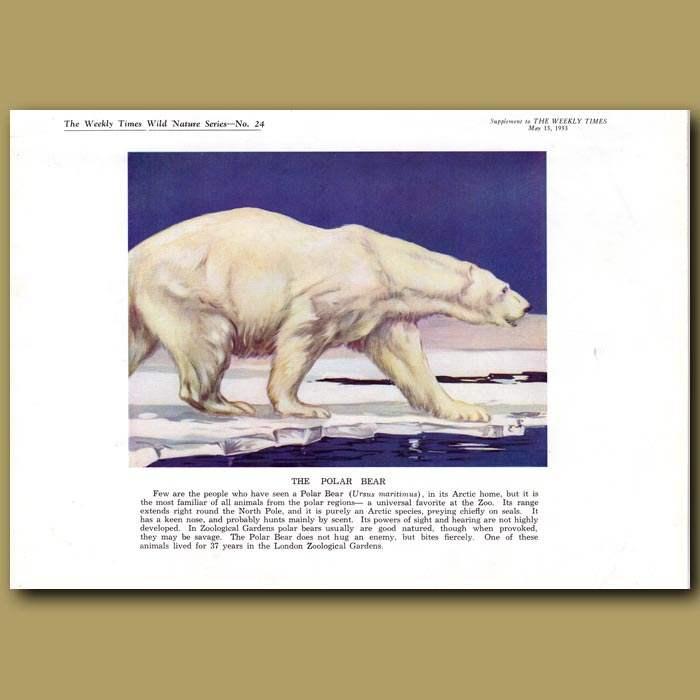 Antique print. The Polar Bear