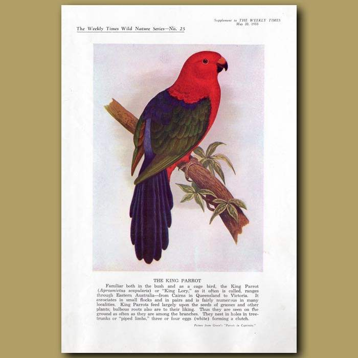 Antique print. The King Parrot