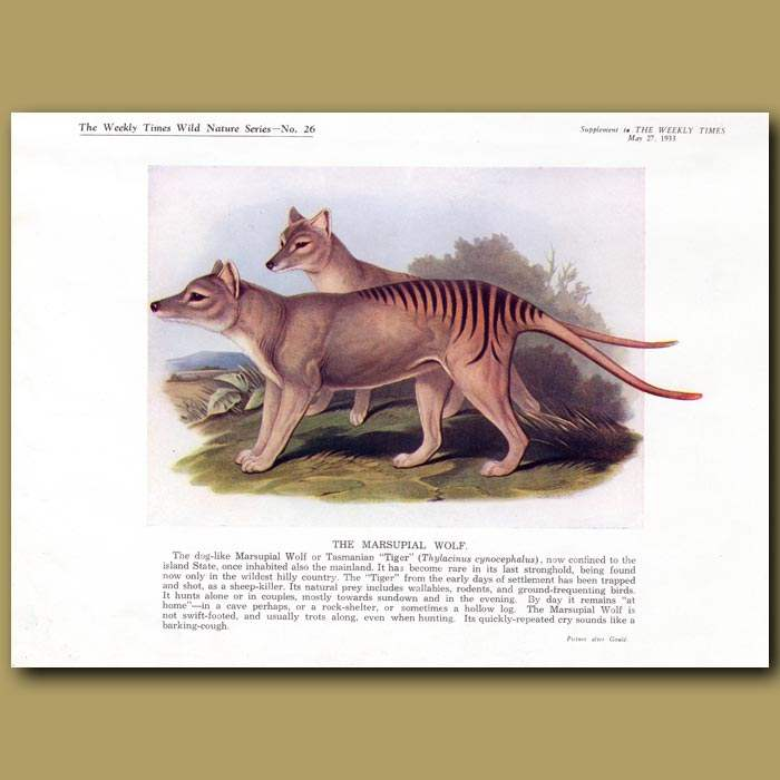 Antique print. The Tasmanian Tiger (Extinct)
