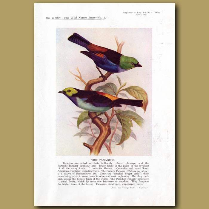 Antique print. The Tanagers