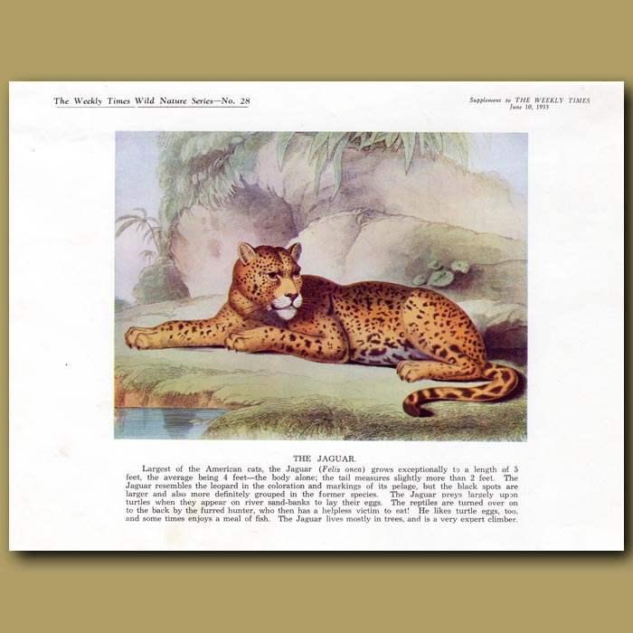 Antique print. The Jaguar