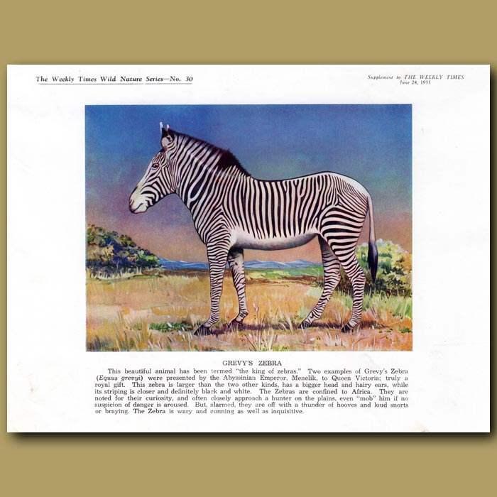 Antique print. Grevy's Zebra
