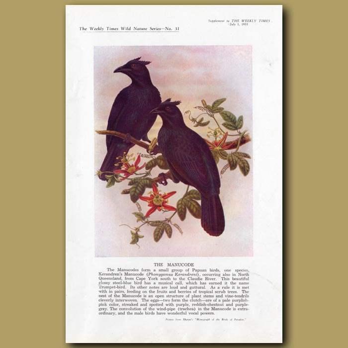 Antique print. The Manucode