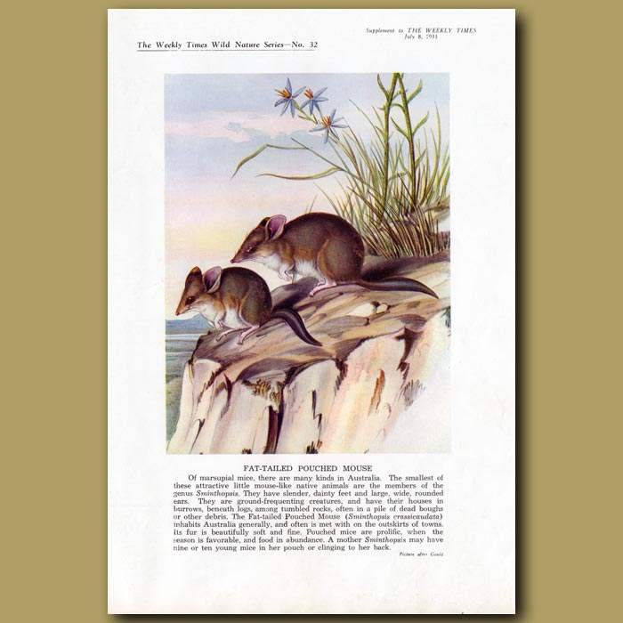 Antique print. Fat-tailed Pouched Mouse