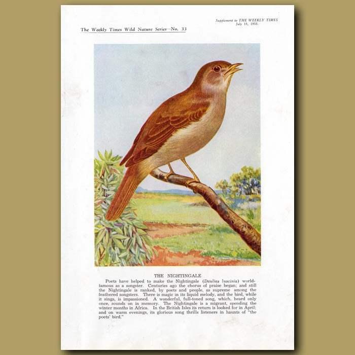 Antique print. The Nightingale