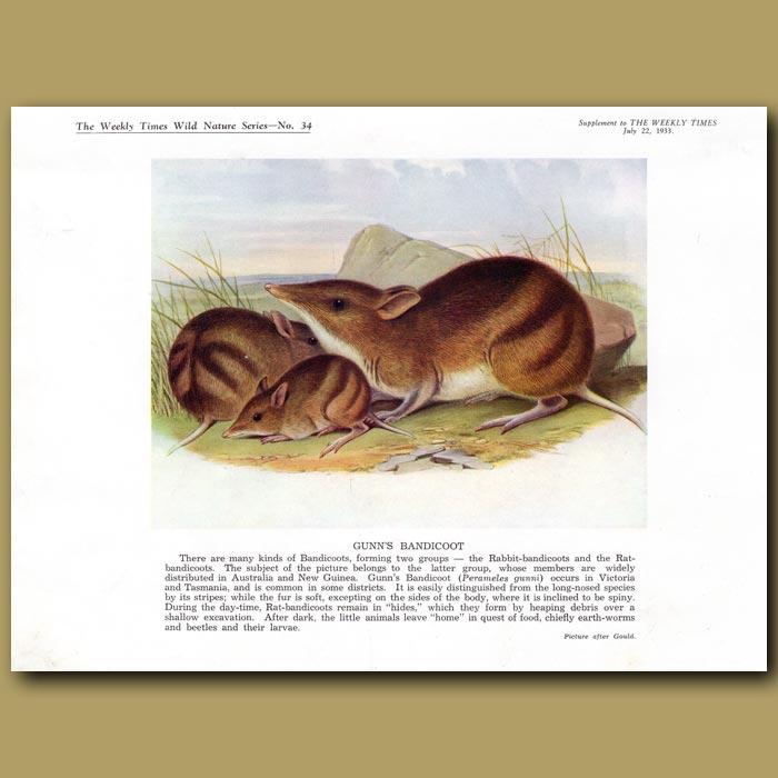 Antique print. Gunn's Bandicoot
