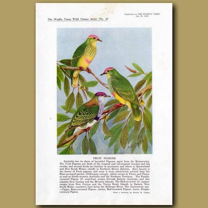 Antique print. Fruit Pigeons