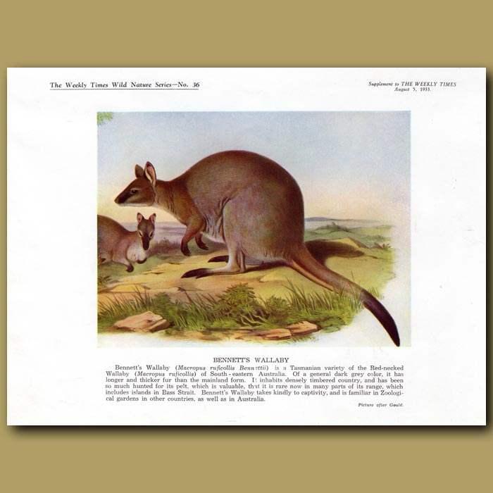 Antique print. Bennett's Wallaby