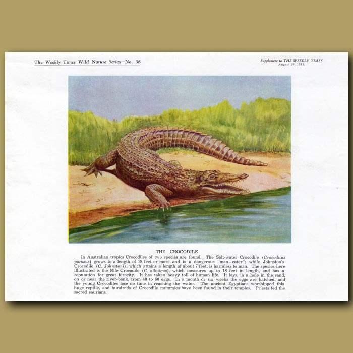 Antique print. The Nile Crocodile