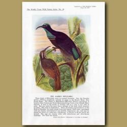 The Albert Rifle-Bird