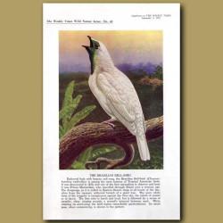The Brazilian Bell-Bird