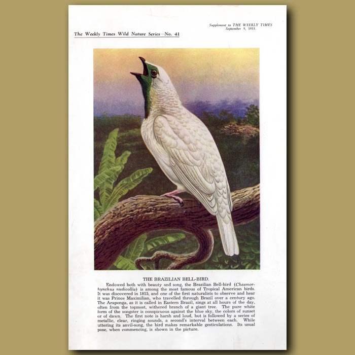 Antique print. The Brazilian Bell-bird