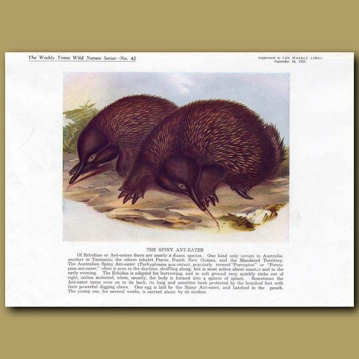 Antique print. The Spiny Anteater or Echidna