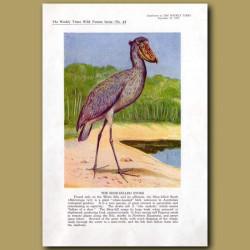 The Shoe-Billed Stork