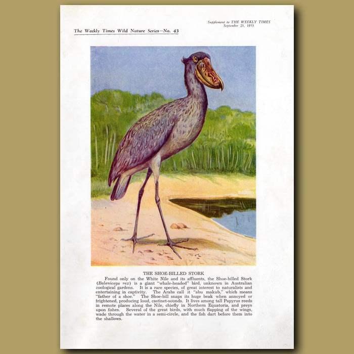 Antique print. The Shoe-billed Stork