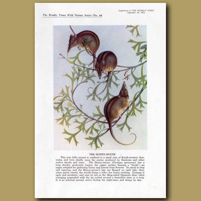 Antique print. The Honey Mouse
