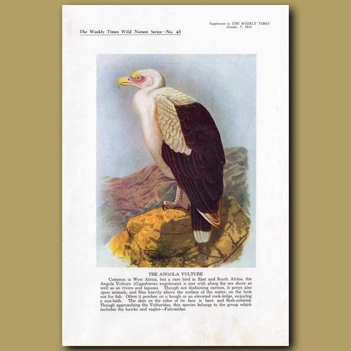 Antique print. The Angola Vulture