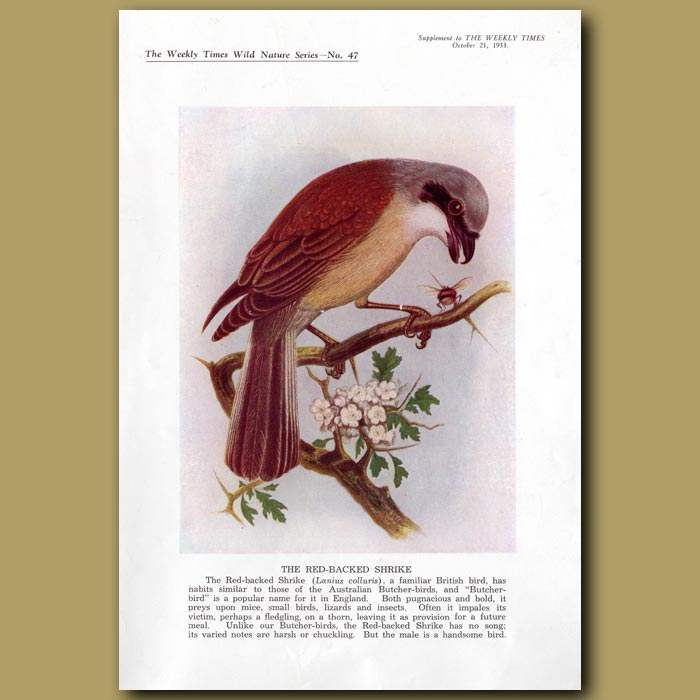 Antique print. The Red-backed Shrike And Bee