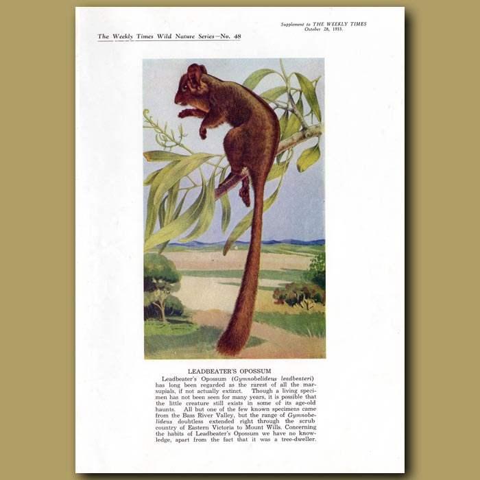 Antique print. Leadbeater's Opossum