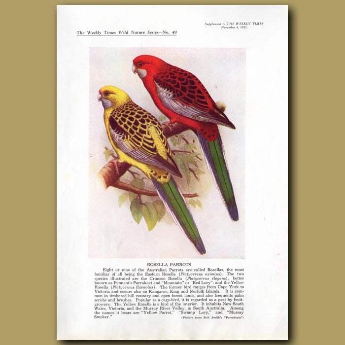 Antique print. Rosella Parrots