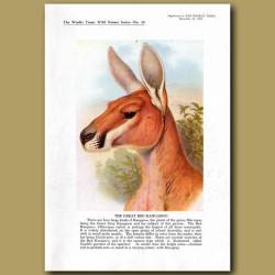 The Great Red Kangaroo