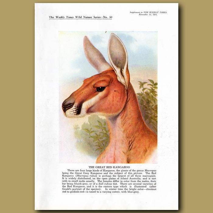 Antique print. The Great Red Kangaroo