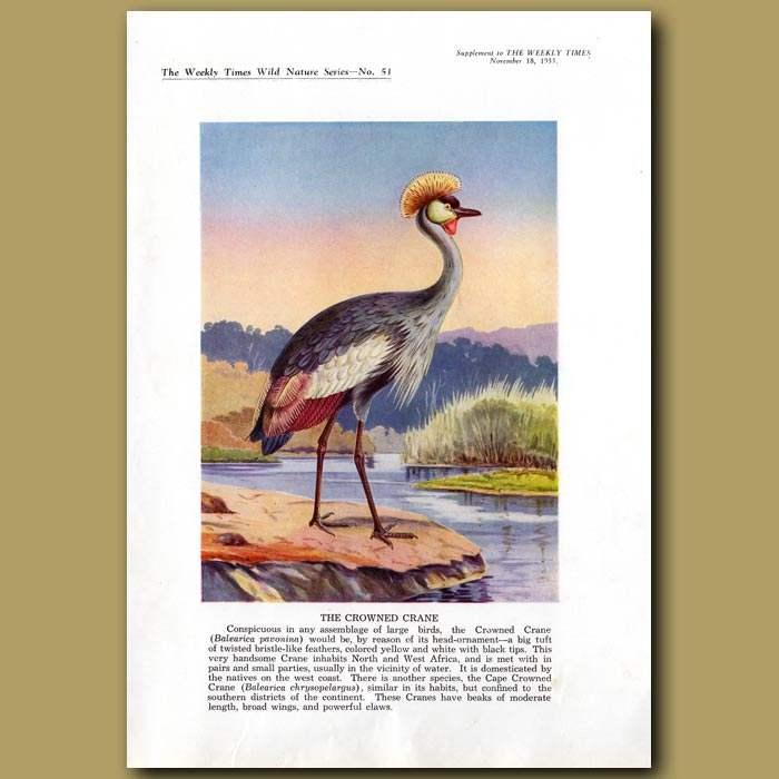 Antique print. The Crowned Crane