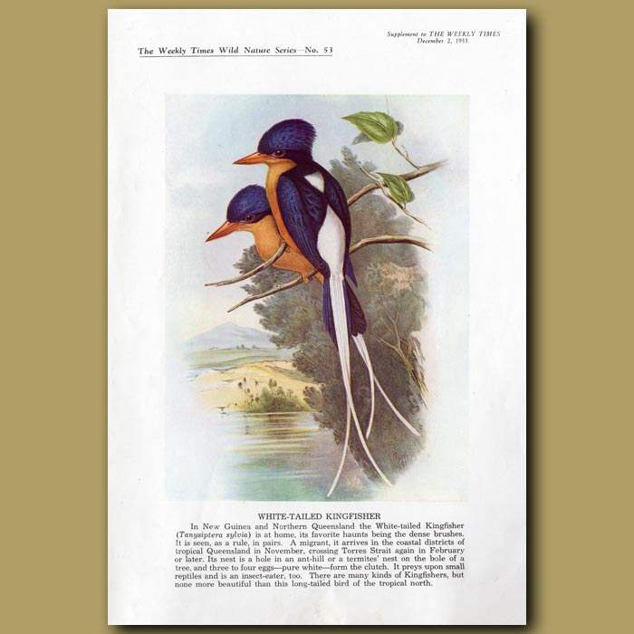 Antique print. White-tailed Kingfisher