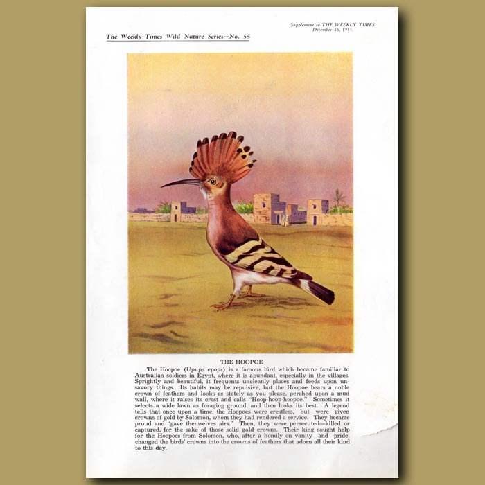 Antique print. The Hoopoe