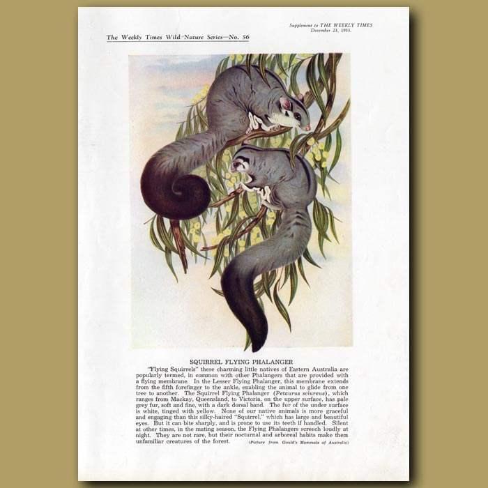 Antique print. Squirrel Flying Phalanger