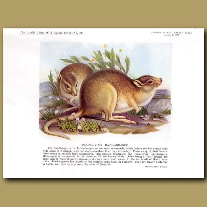 Antique print. The Kookaburra