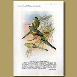 The Golden-Shouldered Parrot