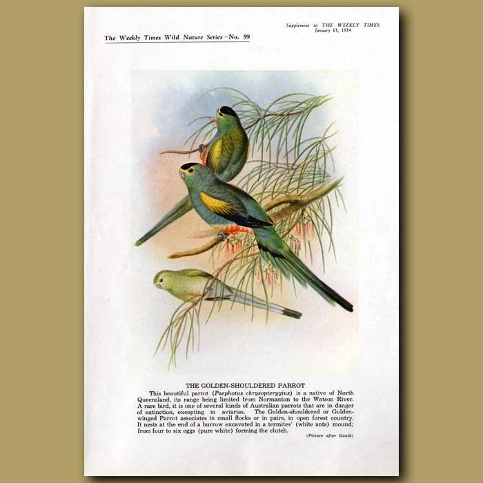 Antique print. The Golden-shouldered Parrot