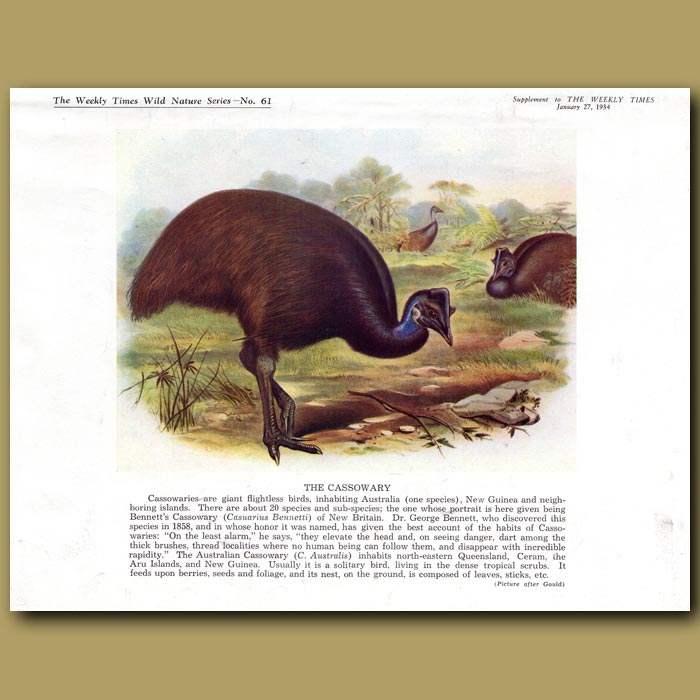 Antique print. The Cassowary