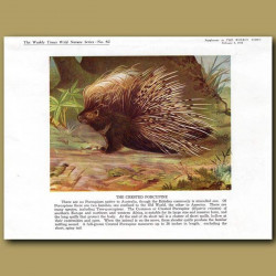 The Crested Porcupine