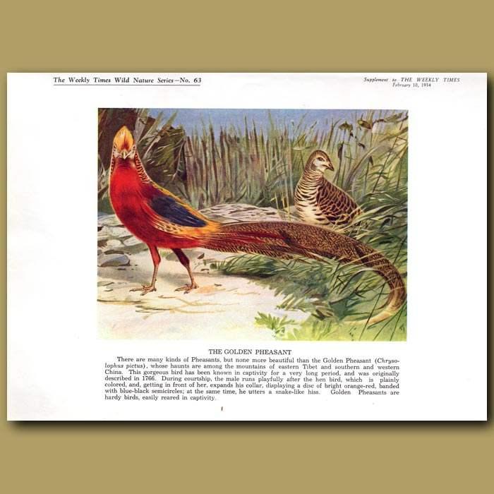 Antique print. The Golden Pheasant