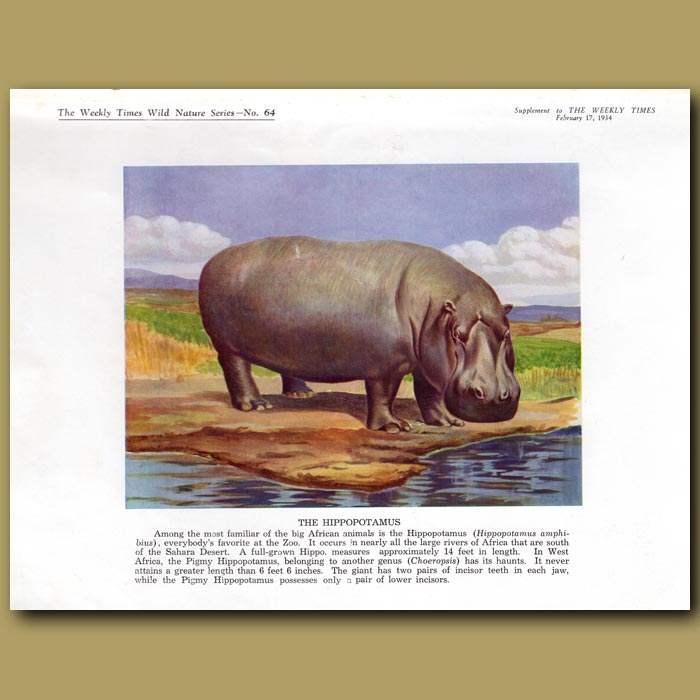 Antique print. The Hippopotamus